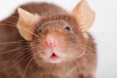 Alla tandceller identifierade hos möss och människor