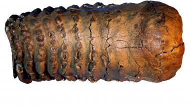 Mammuttand gav världens äldsta DNA